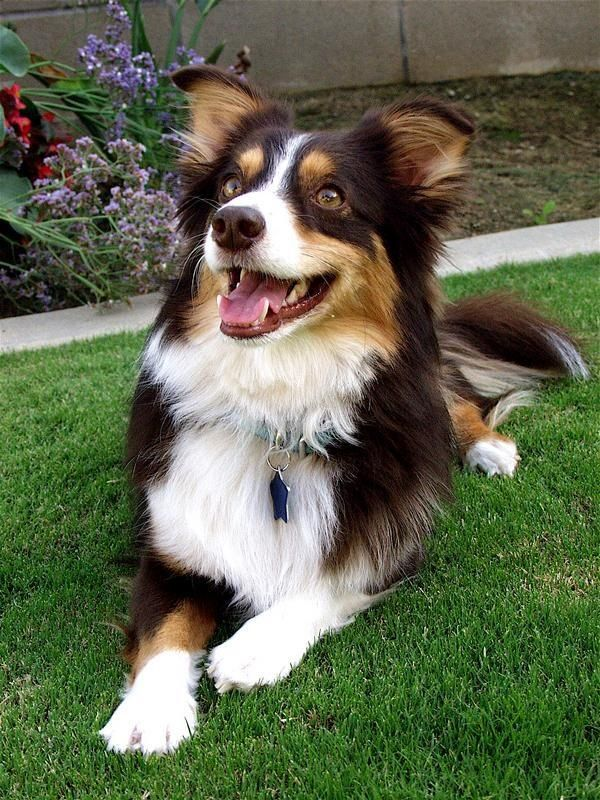 Hunter is a Mini Aussie and Corgi mix rescued from the Kern county animal shelter. Don't shop, ADOPT!