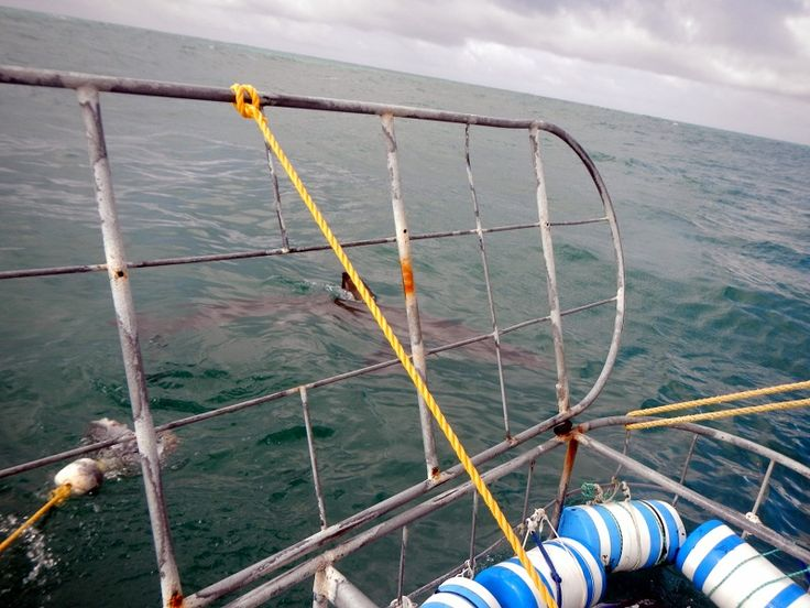 There she is! #Shark cage diving. #SouthAfrica