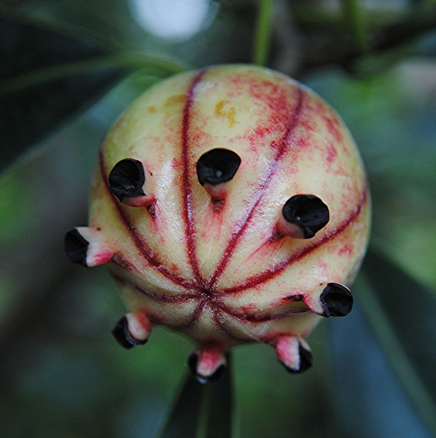 A most unusual fruit... Clusia fruit will break open to reveal seeds by jungle mama, via Flickr by Susan Ford Collins