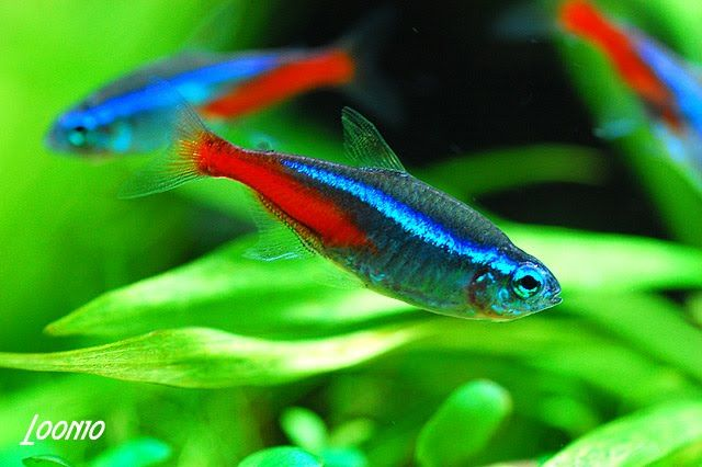 Nean fish neon tetra fish the care feeding and - Peces tropicales fotos ...