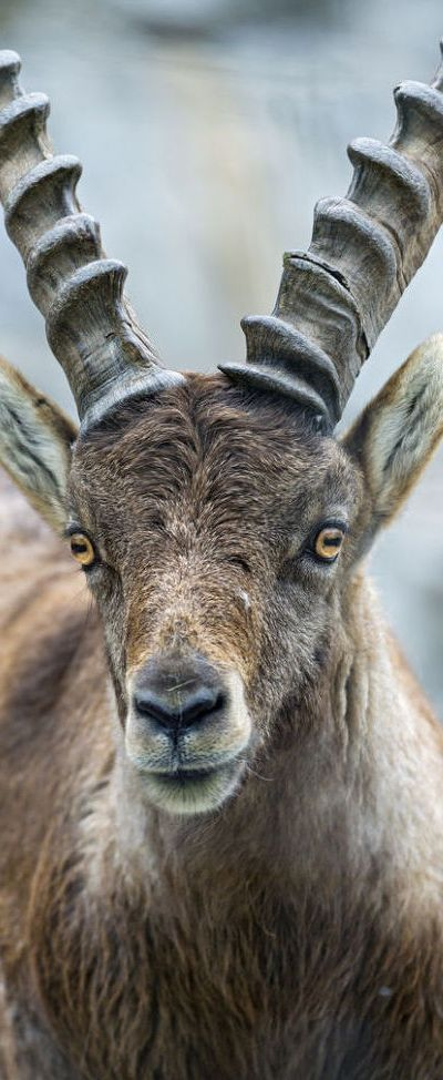 Ibex What strange rectangular irises, like domestic goats!