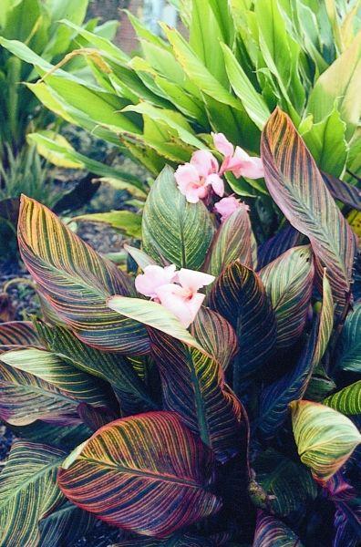 Pink Sunburst Canna Lily for sale buy Canna 'Pink Sunburst'