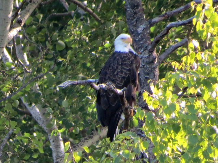 Bald Eagle / Pygargue à tête blanche - Ivanhoe Lake Provincial Park (August 2014)