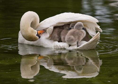 mother swan with precious cargo
