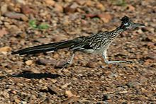 Greater Roadrunner - Wikipedia, the free encyclopedia