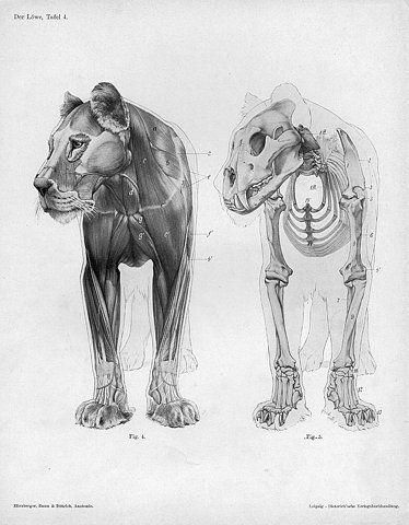 BibliOdyssey: Handbook of Animal Anatomy