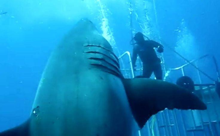 Video. Buzo capta en México al tiburón más grande del mundo - En Facebook se muestran imágenes del impresionante tiburón blanco hembra, una de las más grandes del mundo