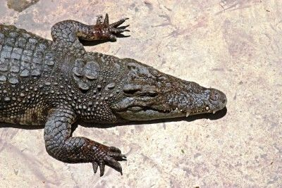"""Crocodylus Acutus"" is a large reptile that can be found in and around mangrove swamps and marshes primarily along the south coast of Jamaica as well as in smaller populations in uninhabited areas on some northern parishes like Trelawny. It is against the law to capture or kill a crocodile in Jamaica."