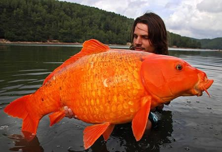 It might look like an enormously generous fairground prize. But no goldfish bowl in the world could contain this catch. The orange koi carp weighs 30lb – the same as an average three-year-old girl – and is thought to be one of the largest of its kind ever captured.