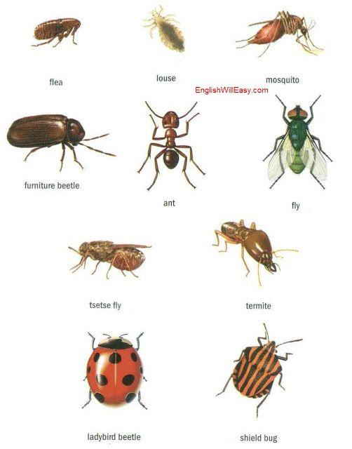 flea, louse, mmosquito, furniture beetle, ant, fly, tsetse ...