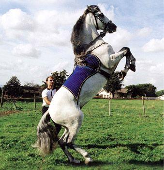 """IL #CAVALLO ANDALUSO. E' conosciuto anche come """"Pura razza Spagnola"""" ed il suo luogo d'origine è l'Andalusia (Spagna) anche se le origini di questo cavallo sono controverse. Infatti pare discenda dai cavalli berberi ed arabi giunti in Spagna nel 711 con i mori, successivamente incrociati con… Per continuare a conoscere la razza: https://itunes.apple.com/it/app/vademecum-del-cavallo-secondo/id765697733?mt=8&uo=4 Grazie."""