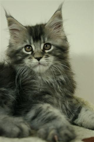 Maine Coon, beautiful! =^.^= Must ♥ Cats