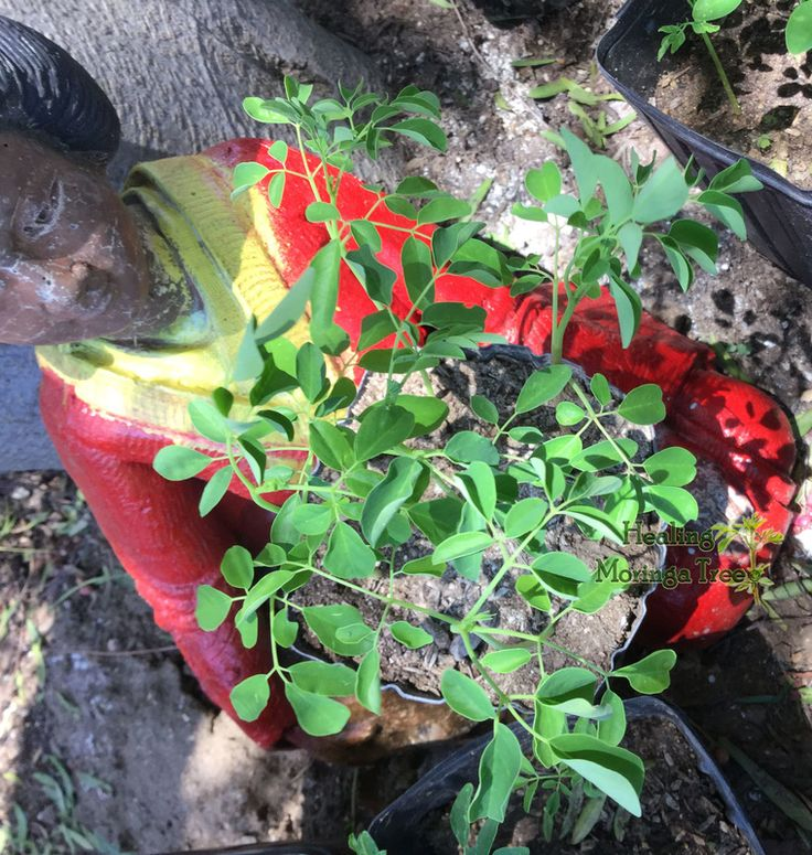 17 Best Images About Healing Moringa Tree On Pinterest