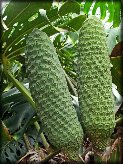 Monstera-fruit-080710-1 by Pterosaur Whisperer, via Flickr