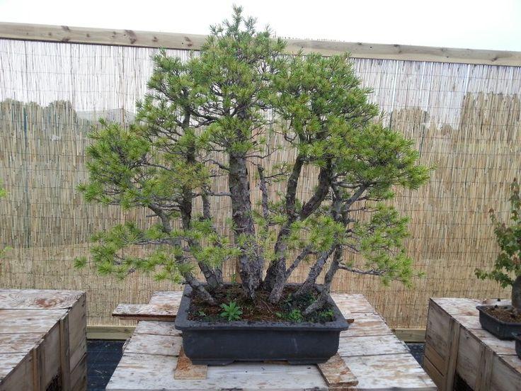 Pinus Pentaphylla bonsai #pinobonsai