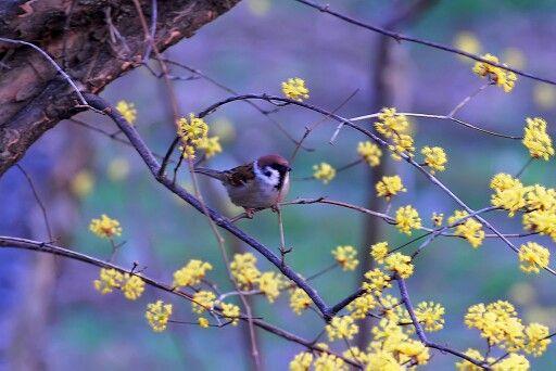 산수유꽃과 참새