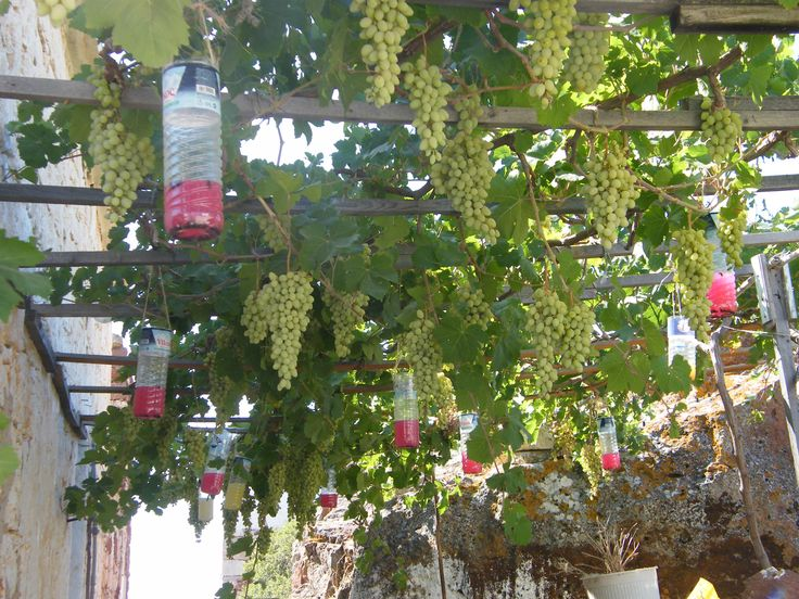 17 Best images about Vine Plants on Pinterest | To be, Plant ...
