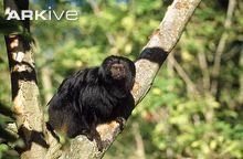 Black lion tamarin on branch