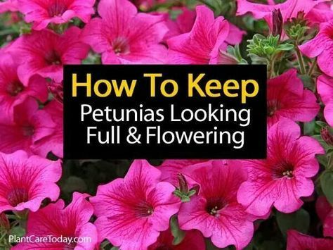 Ho to keep petunias full & flowering