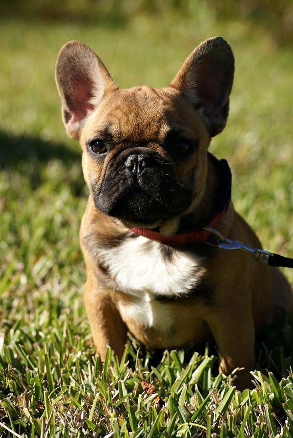 All The Things We All Admire About The Smart Frenchie Dogs