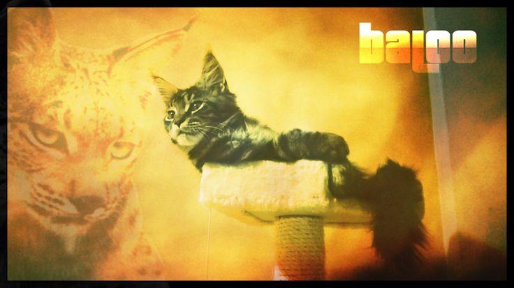 #Baloo #cucciolo #mainecoon di 4 mesi #lince - #baloo #kitten #mainecoon at 4 months #lynx