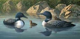 """ Rocky Shallows "" -  Loons  - Print by Jim Hautman"
