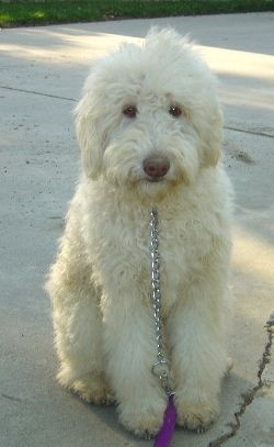 White Labradoodle. They look like a giant stuffed animal you wanna cuddle
