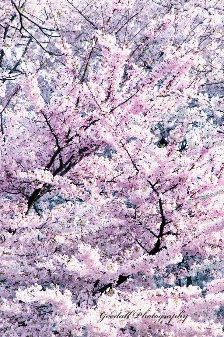 Dancing Sakura Haiku / Washington, DC, USA / March 2016 https://www.facebook.com/goodallphoto #cherry blossom, #cherry, #tree, #blooming tree, #pink flowers, #pink blossom, #pink bloom, #cherry tree, #national cherry blossom festival, #cherry blossom festival, #spring celebration,  #japanese cherry tree, #japanese cherry blossom, #flora, #nature, #pink trees, #landmark, #sightseeing, #attraction, #white flowers, #white blossom, #white bloom, #washington, #washington dc