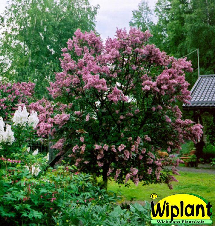 Syringa 'Julia' på stam. Närpesklon. Lysande rödrosa blommor. Fina blad. Höjd: 1,5-3 m.
