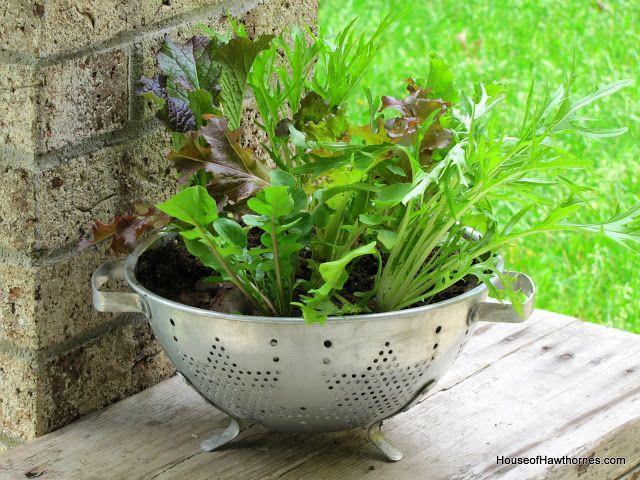 Planting lettuce in a colander - use coffee filter as a liner, fill with potting soil and plant your favorite lettuces.
