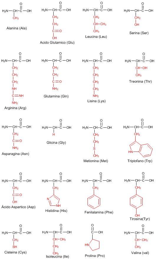 Los 20 aminoácidos que componen las proteínas