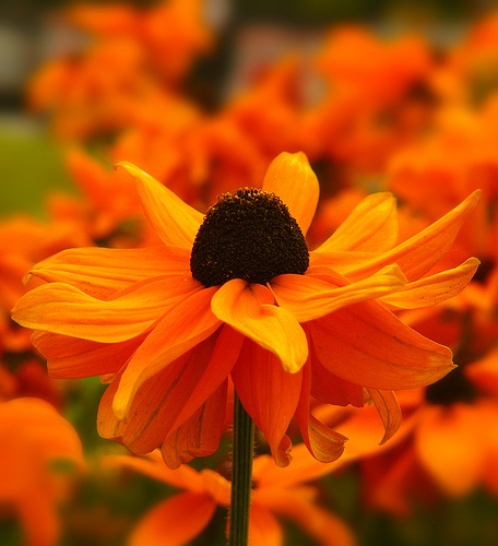 Orange Rudbeckia 2