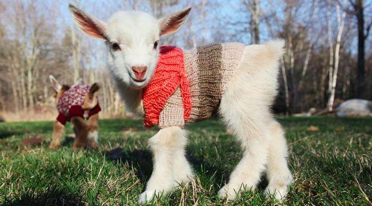 ぴったりサイズのセーターを着ている子ヤギたち…。かわいいのですがなぜ服を?じつは彼ら、アメリカのメイン州というとても寒い地域に住んでいて、さらに生まれたばかりの赤ちゃんなので、寒がり。体温を下げないようにする必要があるんです。メイン州にある「Sunflower Farm Creamery」で、4月15日に生まれたばかりの3頭の健康な赤ちゃんたち。おめかしして、ママと一緒に初めてのお散歩です。...
