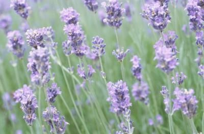 How to Grow Fragrant Lavender Plants in a Yard in Florida thumbnail