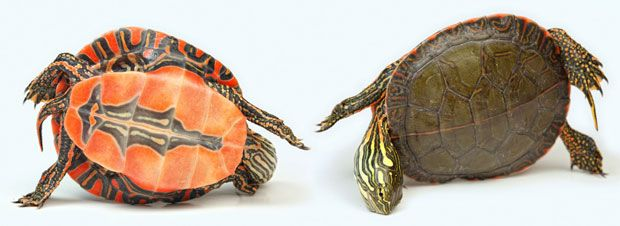 A Chrysemys Picta (Painted turtle): Amazing reptiles and amphibians photographed by Igor Siwanowicz
