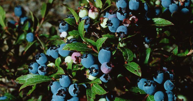 Como semear mirtilo. Os mirtilos são cultivados por meio de sementes, que são encontradas dentro da fruta. Para semear mirtilos, você precisa primeiro coletar as sementes do seu jardim, de uma fazenda local ou em um supermercado. Note, porém, que sementes de espécies híbridas não crescem da mesma forma que os mirtilos do seu parente arbusto. O verão e o início do ...
