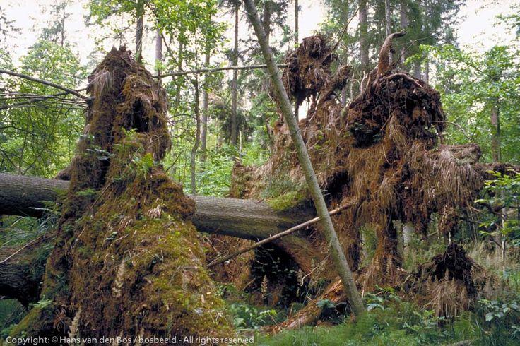 Houtproductie: Creëren van horizontale structuur met zoom, mantel en kern. Om de wind weg te vangen van de kern, de bomen. Hd-verhouding van de bomen goed voor stevigheid ter voorkoming van windworp. Opruimen van gevallen bomen om ziektes te voorkomen.