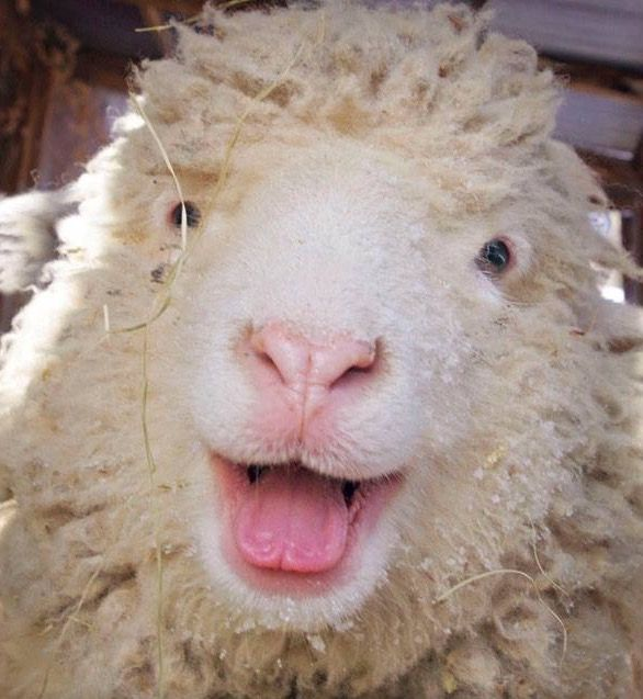1086 best images about SHEEPS, GOATS, LAMAS, ALPACKAS ...