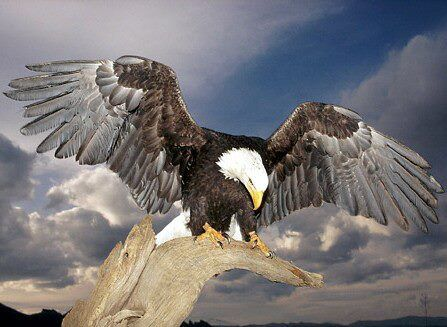 Bald Eagle* Although many eagle populations are dwindling as a result of habitat destruction, hunting, and pollution, conservation efforts are helping some species such as the Bald Eagle which has made a dramatic comeback in the U.S. over the last few decades.