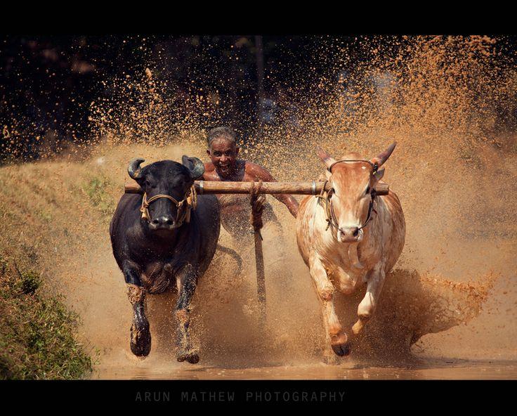 Cattle Race or കാളപൂട്ട് (malayalam) in Palakkad
