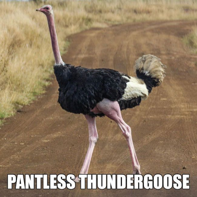 Pantless thundergoose