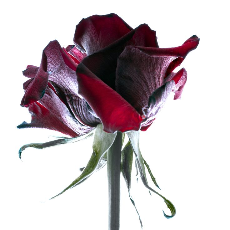 Single rose from a wedding arrangment. Preserved with photography