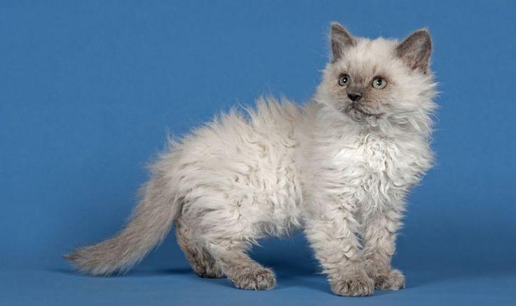 Selkirk Rex Flat Faced Cat