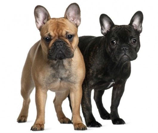 O Buldogue surgiu de diversos cruzamentos, entre raças como os Alanos e os Dogues.  O primeiro padrão da raça ocorreu em 1898, sendo modificado nos anos de 1931, 1932 e 1948. E, finalmente, a última modificação no padrão ocorreu em 1994.  O Buldogue Francês era usado como cão de caça por açougueiros e mercadores de vinho. Sua presa principal eram os inúmeros ratos.  Séculos depois, tornou-se o cão preferido da alta burguesia francesa.