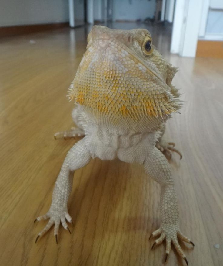 Bearded Dragons is an excellent option for reptile hobbyists who like to give pets more than just food and a place to live. Breaded dragon care is easy to take care with a little knowledge that goe…
