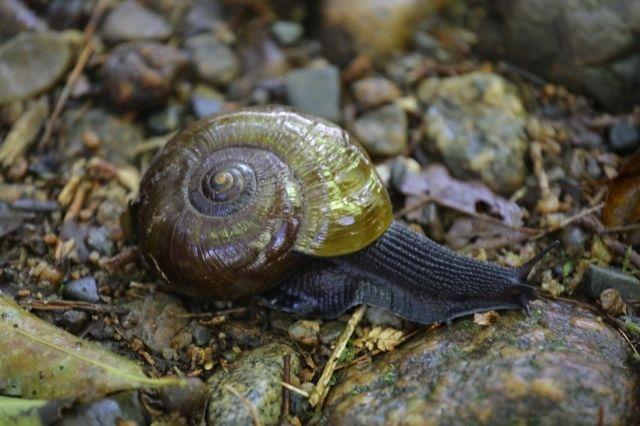 Powelliphanta snail - New Zealand