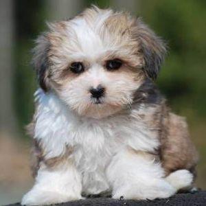 Tiara Teddy Bear Dogs For Sale