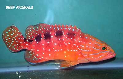 1000 images about grouper fish on pinterest around the for Live saltwater fish