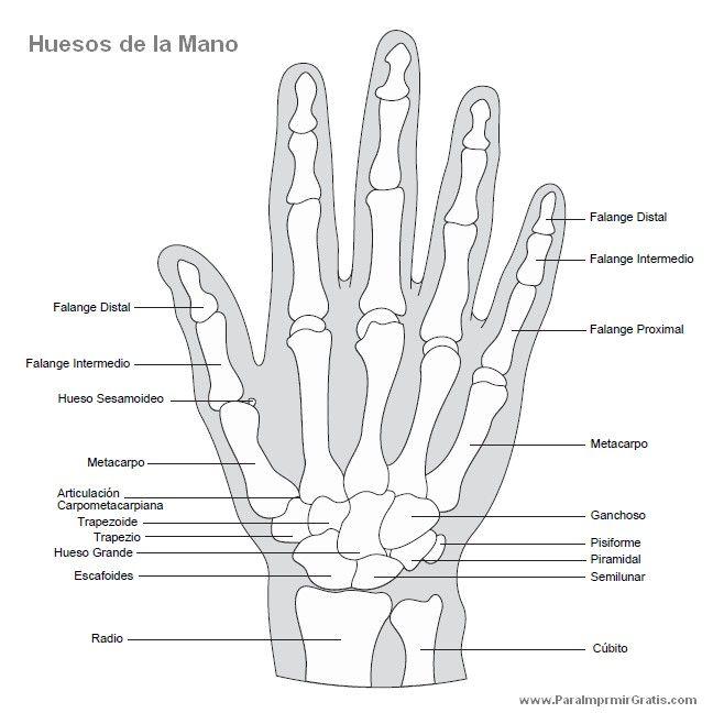 Huesos humanos. on Pinterest | Skeletons, Skeleton Craft and Html
