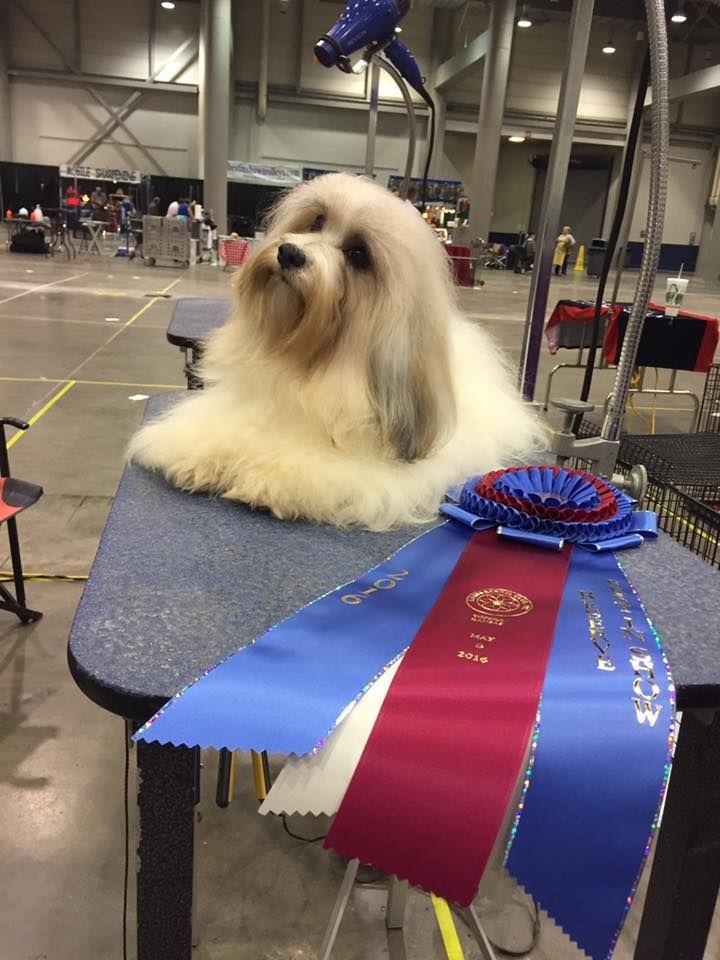 Faith Wins At Dog Show Havanese Breeders Havanese Puppies Havanese Puppies For Sale